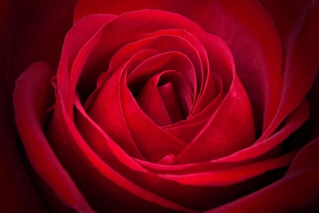 graphicstock-amazing-closeup-shot-of-red-rose_StSPM07j9x-1.jpg